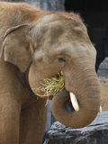 Alimentação do elefante Fotos de Stock Royalty Free