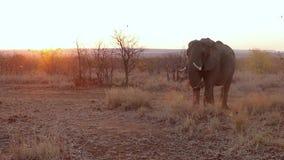 Alimentação do elefante do por do sol video estoque