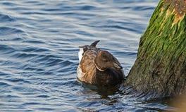 Alimentação do ganso de craca Fotografia de Stock