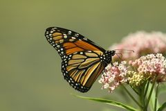 Alimentação do monarca? imagens de stock royalty free
