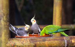 Alimentação do pássaro do Cockatiel imagens de stock
