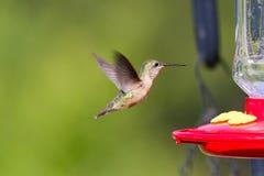 Alimentação do pássaro do zumbido Fotografia de Stock