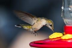 Alimentação do pássaro do zumbido Fotos de Stock Royalty Free