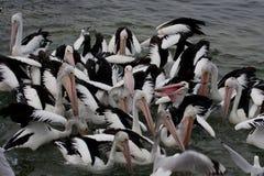 Alimentação do pelicano - imagem conservada em estoque Imagens de Stock Royalty Free