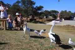 Alimentação do pelicano - Kalbarri Foto de Stock Royalty Free