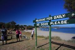 Alimentação do pelicano - Kalbarri Fotografia de Stock Royalty Free