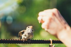 Alimentação do pintainho novo, pardal de casa do pássaro Amarelo-bicudo Fotografia de Stock Royalty Free