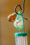 Alimentação do pisco de peito vermelho Imagens de Stock Royalty Free