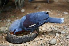 Alimentação do pombo da coroa fotografia de stock royalty free