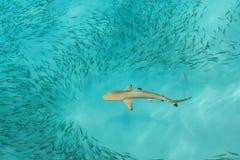 Alimentação do tubarão do recife de Blacktip Foto de Stock Royalty Free