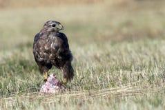 Alimentação dos Buzzards Fotografia de Stock