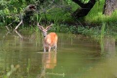 alimentação dos cervos fotos de stock royalty free