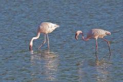 Alimentação dos flamingos Fotografia de Stock