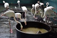 Alimentação dos flamingos Foto de Stock
