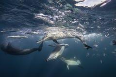 Alimentação dos golfinhos comuns fotos de stock royalty free