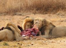 Alimentação dos leões Fotos de Stock