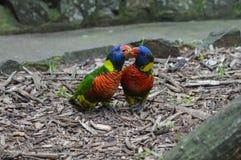 Alimentação dos pássaros Fotos de Stock Royalty Free