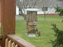 Alimentação dos pássaros Imagens de Stock Royalty Free