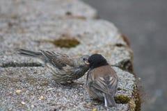 Alimentação dos pássaros Foto de Stock