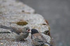 Alimentação dos pássaros Imagem de Stock Royalty Free