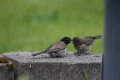 Alimentação dos pássaros Imagem de Stock