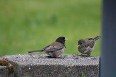 Alimentação dos pássaros Fotografia de Stock