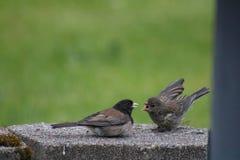 Alimentação dos pássaros Fotografia de Stock Royalty Free
