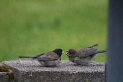 Alimentação dos pássaros Imagens de Stock