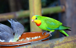 Alimentação dos pássaros de Lorikeet imagem de stock