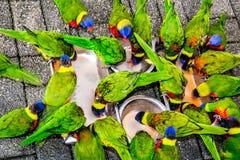 Alimentação dos papagaios Imagem de Stock Royalty Free