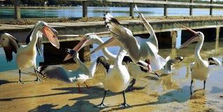 Alimentação dos pelicanos fotografia de stock