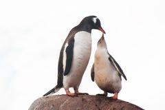 Alimentação dos pinguins de Gentoo Fotos de Stock Royalty Free
