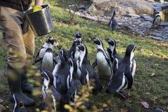 Alimentação dos pinguins Tempo de alimentação do pinguim Homem que alimenta a muitos o pinguim no jardim zoológico fotografia de stock royalty free