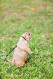Alimentação gigante do esquilo foto de stock