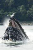 Alimentação líquida da bolha da baleia de corcunda Imagem de Stock