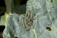 Alimentação pequena das lagartas do branco de couve Fotos de Stock Royalty Free