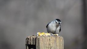 Alimentação selvagem dos pássaros filme