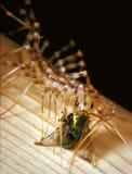 Alimentações comuns do centípede de casa em uma mosca capturada Fotografia de Stock