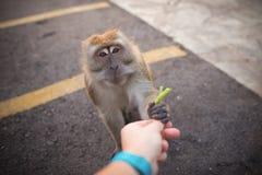 Alimentações de mão do homem um macaco Amizade entre o ser humano e o animal imagens de stock royalty free