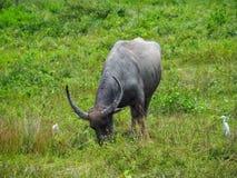 Alimentações do búfalo no pasto Foto de Stock Royalty Free