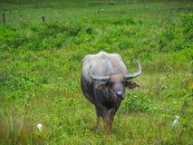 Alimentações do búfalo no pasto Fotografia de Stock Royalty Free