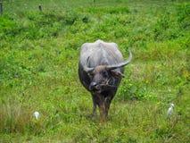 Alimentações do búfalo no pasto Imagem de Stock Royalty Free