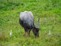 Alimentações do búfalo no pasto Fotos de Stock Royalty Free