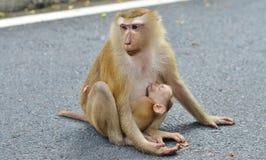 Alimentações do macaque da mamãe um sono do filhote em uma posição de assento Imagem de Stock