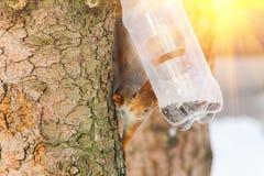 Alimentações selvagens do esquilo no inverno frio Fotografia de Stock