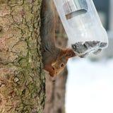 Alimentações selvagens do esquilo no inverno frio Fotos de Stock Royalty Free