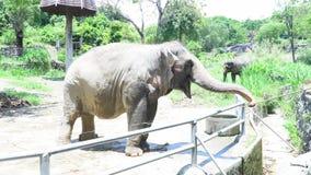 Alimenta el elefante de Asia en el parque zoológico de Tailandia almacen de video