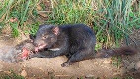 Alimenta??o do diabo tasmaniano fotografia de stock