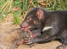 Alimenta??o do diabo tasmaniano fotos de stock royalty free