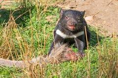 Alimenta??o do diabo tasmaniano fotografia de stock royalty free